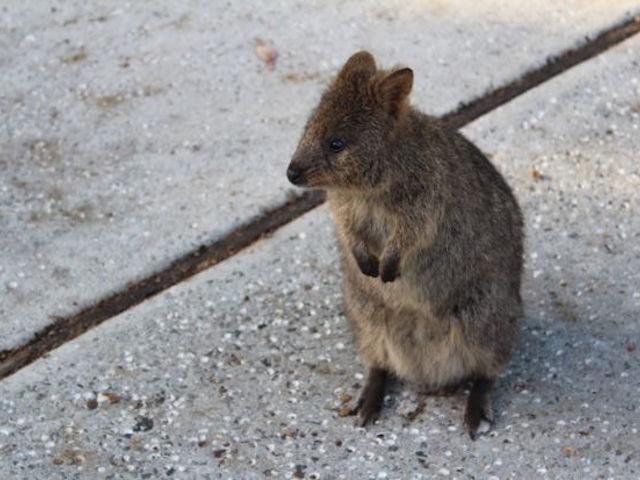 Got Quokkas? Exploring Rottnest Island, Western Australia