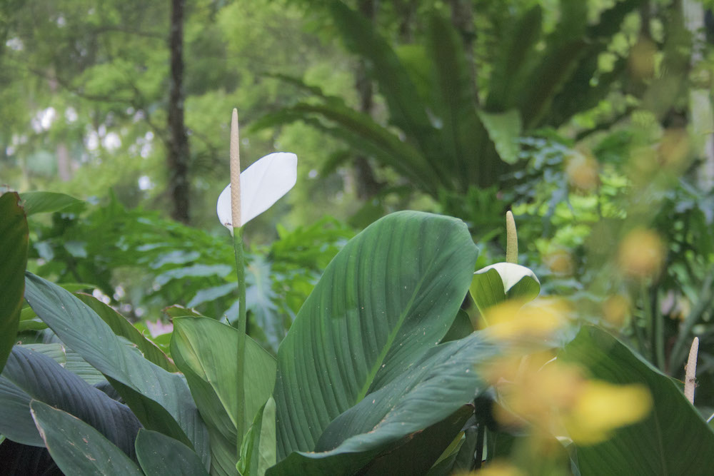 Soft Orchid, Botanical Gardens (cc license, NatasiaCausse)