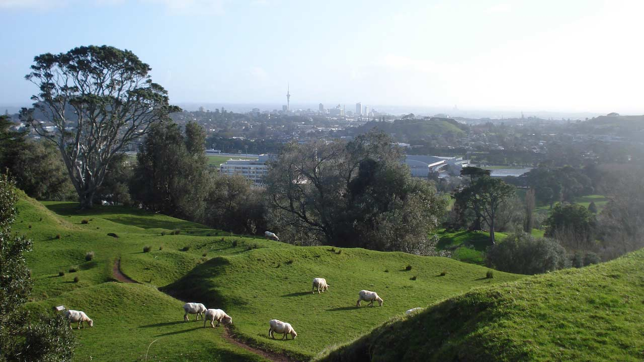 Sheep graze on rolling hills outside the city of Auckland