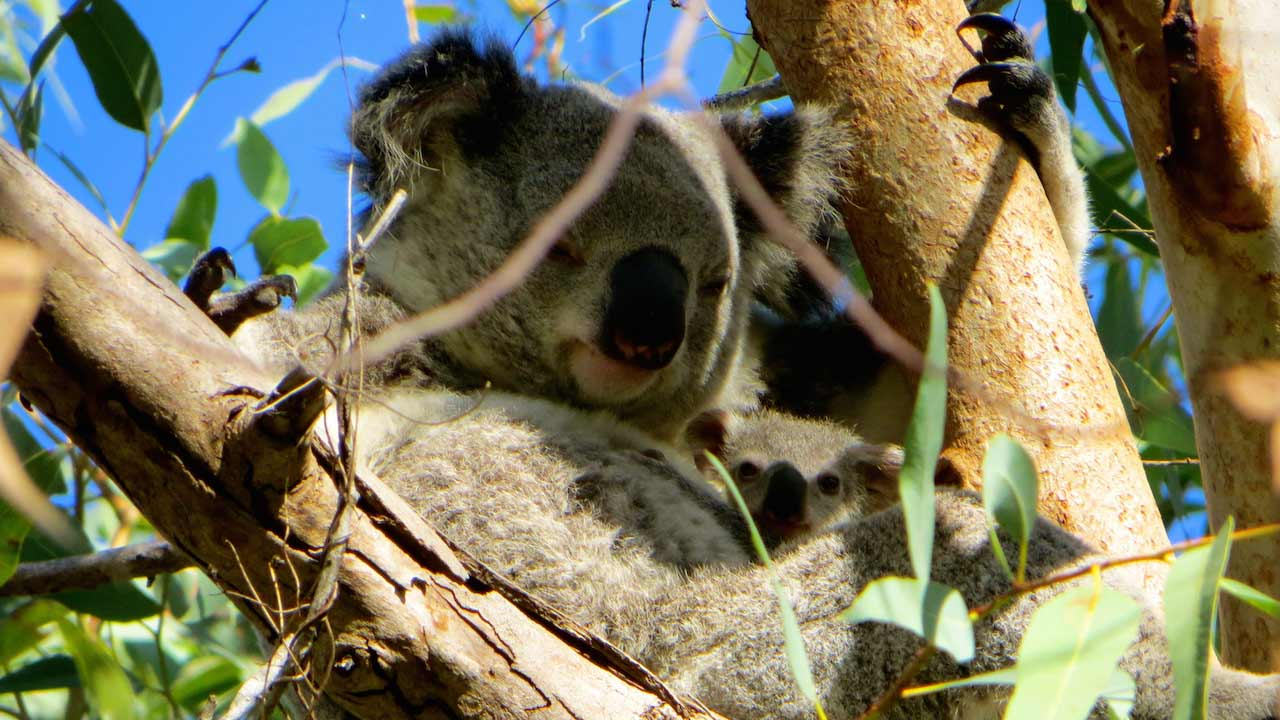 A koala sits tucked away in a tree surrounded by branches and leaves