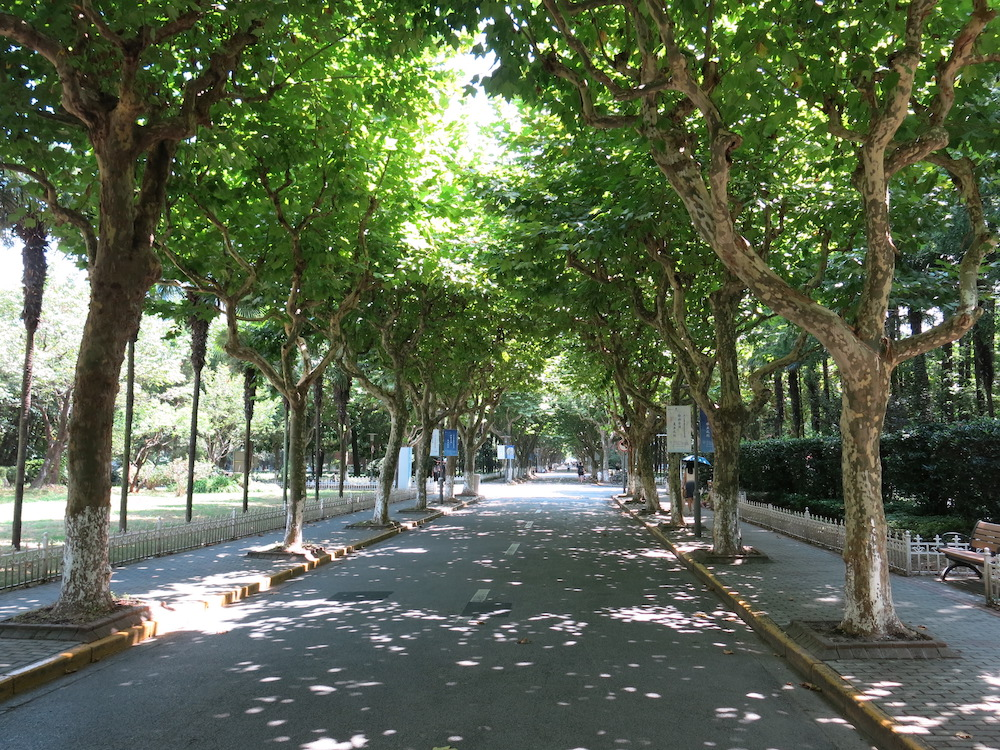 The beautiful tree-lined streets of Fudan University campus.