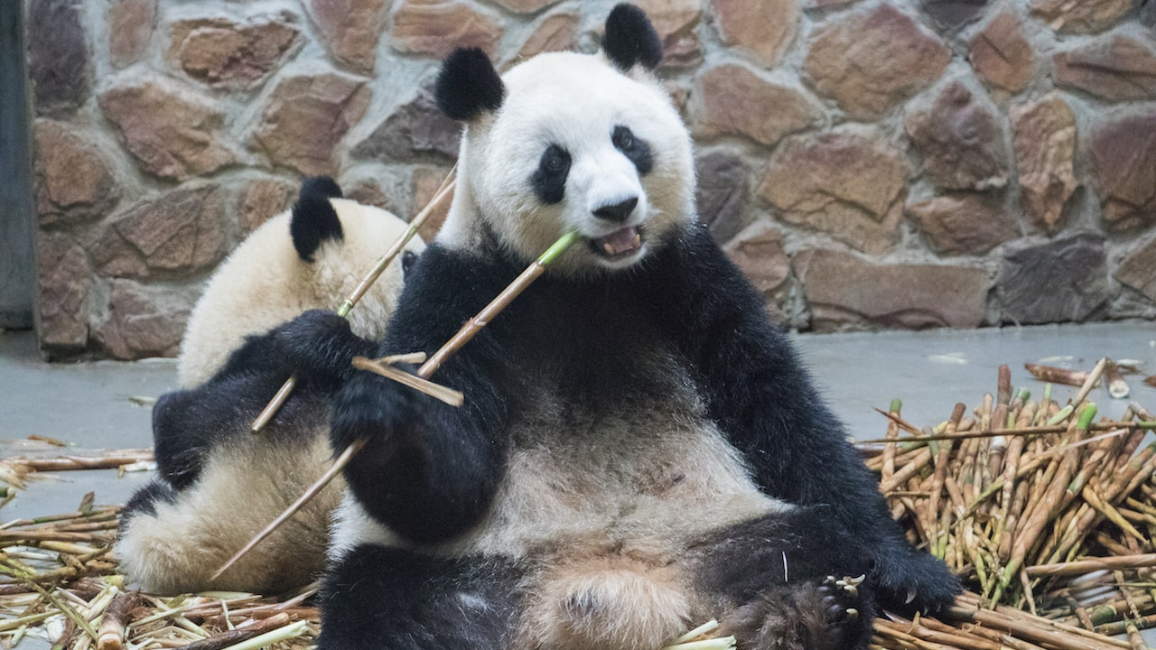 Panda eating bamboo at Chengdu Panda Base