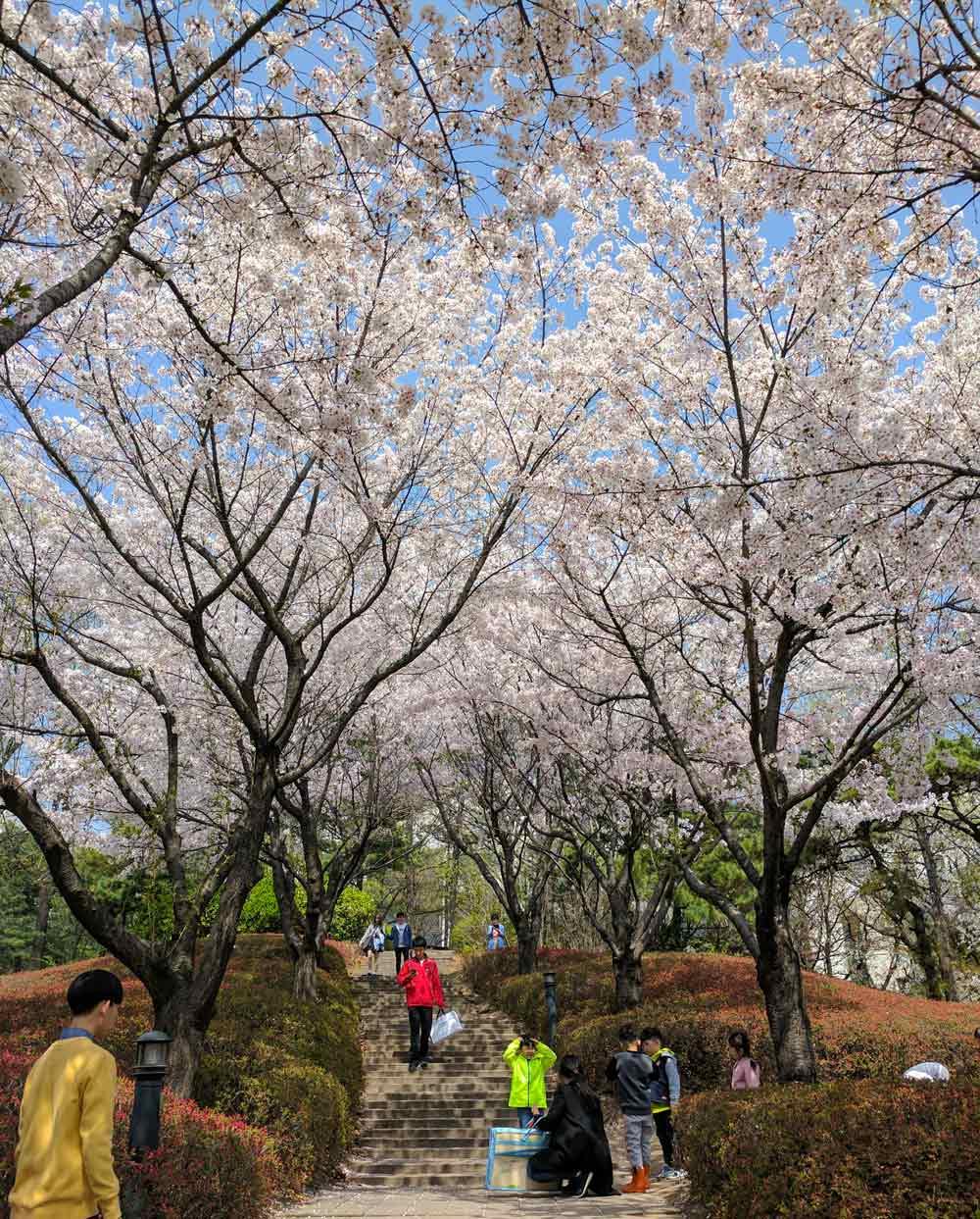 Cherry blossoms on Korea University campus